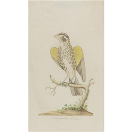 John Abbot, Red Grosbeak Female
