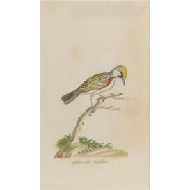 Artwork by John Abbot, Yellow poll Warbler, Made of Watercolor on paper
