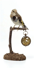 Artwork by Kelly McCallum, Unique Victorian taxidermied bird sculpture, Made of Taxidermied Victorian bird, antique clock parts, antique pocket watch, wood