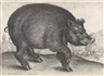 Wenceslaus Hollar, A Pair: The Blind Mole ; The Boar