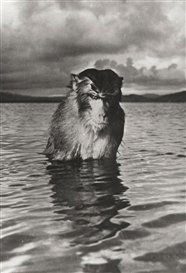 Artwork by Hansel Mieth, RHESUS MONKEY, Made of Gelatin silver print