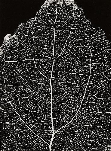 Ehrhardt alfred structure of a lime tree leaf circa for Structure photography
