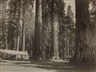 Putnam & Valentine, Forest with redwood trees