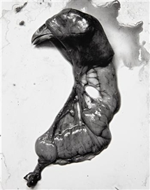 Artwork by Frederick Sommer, Chicken, 1939, Made of Gelatin silver print