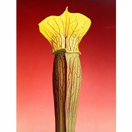 Robert Mapplethorpe, JACK-IN-THE-PULPIT