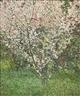John Lennox, Spring Blossoms