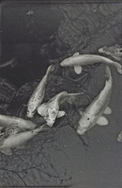 Artwork by Balthasar Burkhard, Koi Karpfen, Made of Black white photograph