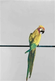 Artwork by Michelangelo Pistoletto, Pappagallo (Parrot), Made of colour silkscreen on polished stainless steel