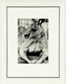 Artwork by Peter Peryer, Kangaroo, Made of gelatin silver print