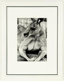 Artwork by Peter Peryer, Kangaroo, Made of gelatin silver print