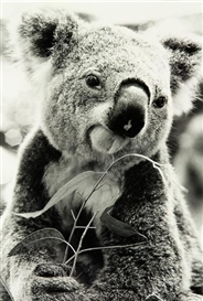 Artwork by Peter Peryer, Koala, Made of gelatin silver print