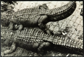 Peter Peryer, Alligators, Auckland Zoo