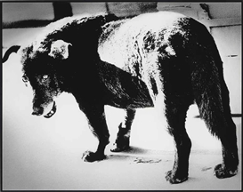 Artwork by Daido Moriyama, Stray Dog, Misawa, 1971, Made of gelatin silver print