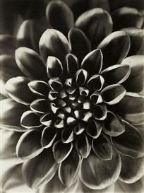 Paul Wolff, GEORGINE (DAHLIA VARIABILIS)