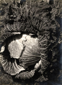 Artwork by Emmanuel Sougez, Cabbage, Made of Gelatin silver print