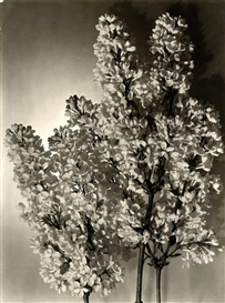 Artwork by Emmanuel Sougez, Lilac, Made of Gelatin silver print
