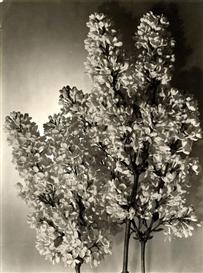 Artwork by Emmanuel Sougez, Lilac, Made of Gelatin silver print