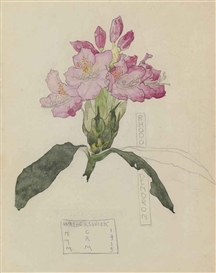 Artwork by Charles Rennie Mackintosh, Margaret Macdonald Mackintosh, Study of a Rhododendron, Made of Pencil and watercolour on paper