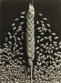 Emmanuel Sougez, Wheat
