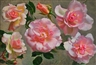 John Bulloch Souter, Pink roses