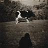 Peter Peryer, Cow and Shadow