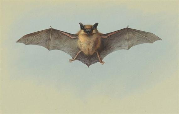 thorburn archibald study of a common pipistrelle bat mutualart